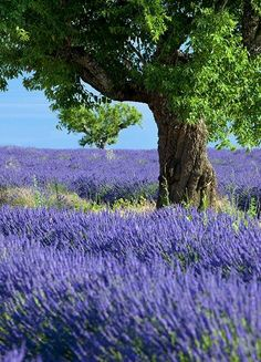 lavender and tree working together to make beauty for us...