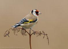 Goldfinch on Bracken.  Bird photography by Dean Mason on 500px