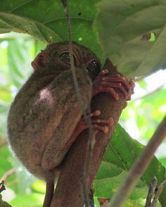 Tarsier in the trees on Belitung Island, Indonesia