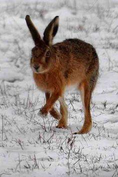 66. Hare  * (gebruikt bij reisei links vooraan) *