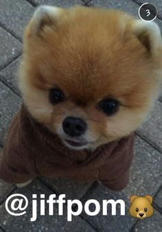 jiffpom Source by elizarebaza The post jiffpom appeared first on Douglas Dog Hotel. Cute Small Dogs, Cute Cats And Dogs, Animals And Pets, Baby Animals, Funny Animals, Cute Animals, World Cutest Dog, Cutest Dog Ever, Jiff Pom