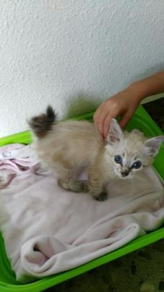 VERA - Gato adoptado - AsoKa el Grande