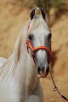 Marwari horse (indigenous horses of india) i bet they ride fast.. i love it