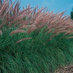 Pennisetum alopecuroides, lovely two tone colour and texture brings a great sound to a sensory garden.