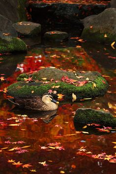 duck and momiji 2 | * Yumi * | Flickr