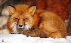 Sleepy Fox. | I woke this guy up from a nap. | Jon Wedge Photography | Flickr