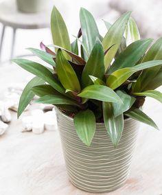 Intenz Home® Spiderwort 'Purple Flame'