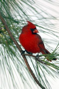 In Memory of my sister Annie. We were watching the cardinals together and enjoying their beauty.