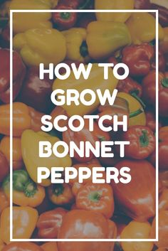 Scotch bonnet peppers are some of the hottest chillies known - but they're also delicious and easy to grow. Follow these tips for growing scotch bonnet peppers and you'll be producing dozens of fruits in your garden in no time! :-) Scotch Bonnet Pepper, Pepper Plants, Growing Gardens, Room To Grow, Grow Your Own Food, Urban Farming, Stuffed Hot Peppers, Gardening Tips, Vegetable Gardening