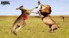 Lion vs ostrich, vs bear, vs giraffe, vs monkey, vs zebra, vs lion, vs p...