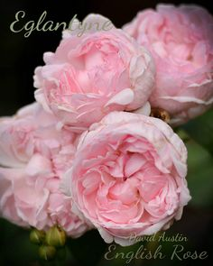 David Austin Rose 'Eglantyne'