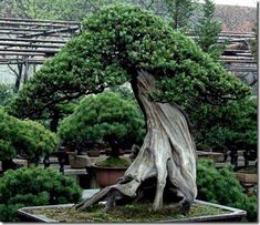 The oldest known bonsai trees still living can be found in a private restaurant garden in Tokyo. The 400 to 800 years old trees in Happo-en Garden are an attraction for any bonsai lover. Every tree is grown in era-specific pots that are often as valuable as the trees themselves.   The practice of potted trees dates back to the Egyptian Era, 4000 B.C.