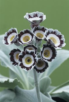Show Auricula 'star Wars No. 1' Flowers - by Archie Young