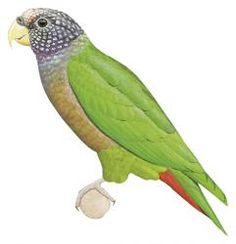 White-capped Parrot (Pionus seniloides) (Formerly included in Pionus tumultuosus)
