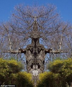 angel febrero tree pictures | Trees of terror: The terrifying oak that could have walked out of Lord ...