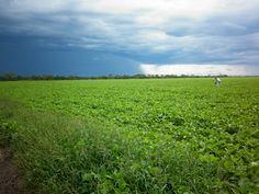 Soybean Crop en Bandera - Santiago del Estero