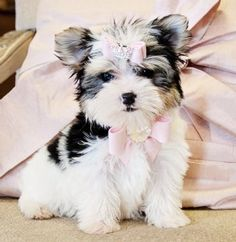 Teacup Biewer Morkie Princess SOLD to a Loving Home in Florida! - Morkie Puppies - Cassie's Closet