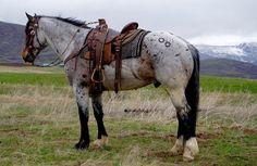 Quarter horse draft cross gelding