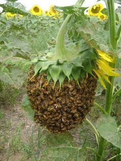 Bee swarm dripping from the head of a Sunflower. —