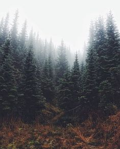 pine trees...The pine stays green in winter, wisdom in hardship. .Norman Douglas