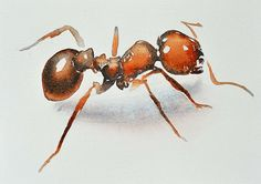 """""""Ant"""" from """"Small Intruders: A Watercolor Journey Through the Bug Kingdom"""" by Carol Carter, 2013."""