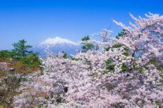 320:「桜の時期に見れる雪化粧の岩木山。春と冬の境目に津軽の春はやってくる。」@弘前公園
