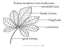 Budowa liścia kasztanowca www.dzieciakiwdomu.blogspot.com