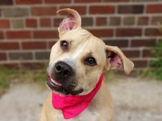 TO BE DESTROYED 9/11/14 Brooklyn Center -P  My name is KELLY. My Animal ID # is A1012395. I am a female tan and white pit bull mix. The shelter thinks I am about 11 MONTHS old.  I came in the shelter as a OWNER SUR on 08/30/2014 from NY 11368, owner surrender reason stated was LLORDPRIVA.