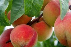 The Frost peach is a gorgeous freestone fruit that was developed to require less care than most others. The fragrant pink flowers bloom later than most peach varieties in order to avoid fruit-damaging Growing Peach Trees, Growing Tree, Fast Growing, Garden Trees, Trees To Plant, Tree Planting, Dwarf Peach Tree, Dwarf Fruit Trees, Comment Planter