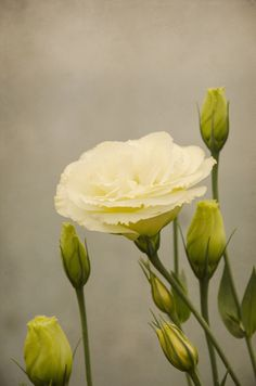 'Lisianthus' by Carol Knudsen Lisianthus Flowers, Tulips Flowers, All Flowers, Fresh Flowers, Yellow Flowers, Planting Flowers, Beautiful Flowers, Wedding Flowers, Pastel Yellow