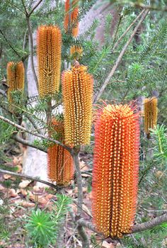 Banksia ericifolia - Heath Banksia one of the most beautiful banksias in Austral., Banksia ericifolia - Heath Banksia one of the most beautiful banksias in Austral.