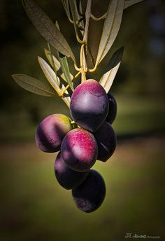 Aceitunas - Córdoba, Andalucia, Spain | por jl serrano Gardening Photography, Fruit Photography, Fruit And Veg, Fresh Fruit, Fruit Names, Fruit List, Fruit Picture, Beautiful Fruits, Fruit Painting