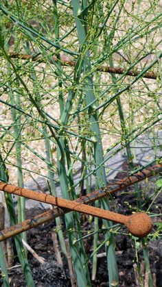 Raspberry Canes, Fruit Cage, Fruits And Vegetables, Plants, Fruits And Veggies, Plant, Planting, Planets