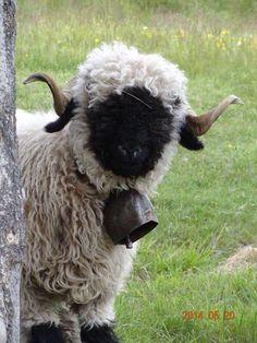 Valais blacknose sheep ❤️ so cute