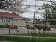 Young juvenile muleys roaming the 'hood!
