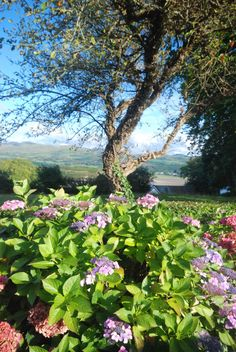 My photo of some of the beautiful trees and flowers to be seen on the approach to the village via the official driveway belonging to Portmeirion.  There are in particular many gorgeous pink and blue Hydrangas on lining the driveway to the village - stunning Welsh countryside.!   Please feel free to repin my photo but please be sure to credit me by name and date (2011).  Image copyright Alison Allmand-Smith