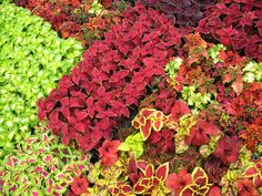 Coleus plants have vibrant colorful foliage that can provide visual interest without having to worry about flowers