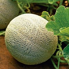 best crops for your edible garden | Muskmelon..Warm-season crop    Cantaloupes taste so sweet and juicy when fully ripe, they're worth the long wait―4 months of steady heat― to harvest. We love 'Ambrosia' for its fragrant, extra-sweet flesh. But 'Lil' Loupe' fruits are smaller beauties, each not much bigger than a baseball. Zones 2-24.