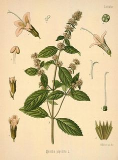 MBG Rare Books: Illustration of MENTHA piperita L. Common name(s): peppermint, Scientific name: Mentha X piperita L. Illustration Botanique, Plant Illustration, Botanical Illustration, Peppermint Herb, Peppermint Plants, Peppermint Leaves, Healing Herbs, Medicinal Plants, Natural Healing