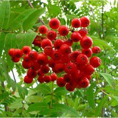 Rowan - Sorbus Aucuparia Tree, Common Mountain Ash Trees
