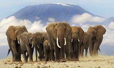 African elephants in front of Mount Kilimanjaro