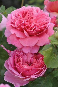Princess Alexandra of Kent ~ English Shrub Rose