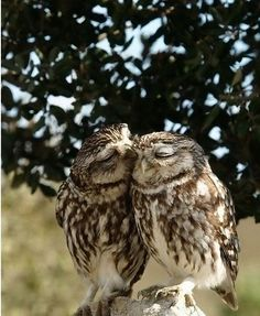 Owl Kiss. Reminds me of an old couple with the man kissing the woman on the cheek