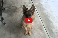 Watch a German Shepherd Go From Puppy To Dog In Less Than One Minute