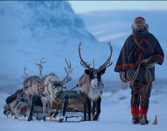The reindeer remains a strong symbol of the Sami culture.