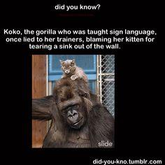 lying gorilla