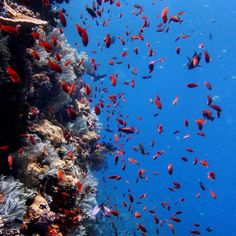 Along the #wall of Batu Bolong hundreds of tiny #anthias #swarm. Our dive guides refer to this as #swimming in #fish soup.