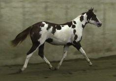 Quarter Horse Stallion For Sale in Michigan
