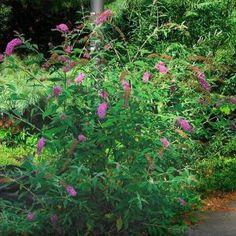 Buddleja davidii (orange-eye butterfly-bush): Go Botany Buddleja Davidii, Butterfly Bush, Botany, Orange, Plants, Gardening, Eye, Ideas, Gardens