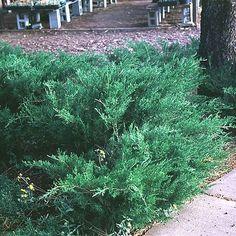 Juniperus chinensis 'Sea Green' SEA GREEN JUNIPER from Greenleaf Nursery